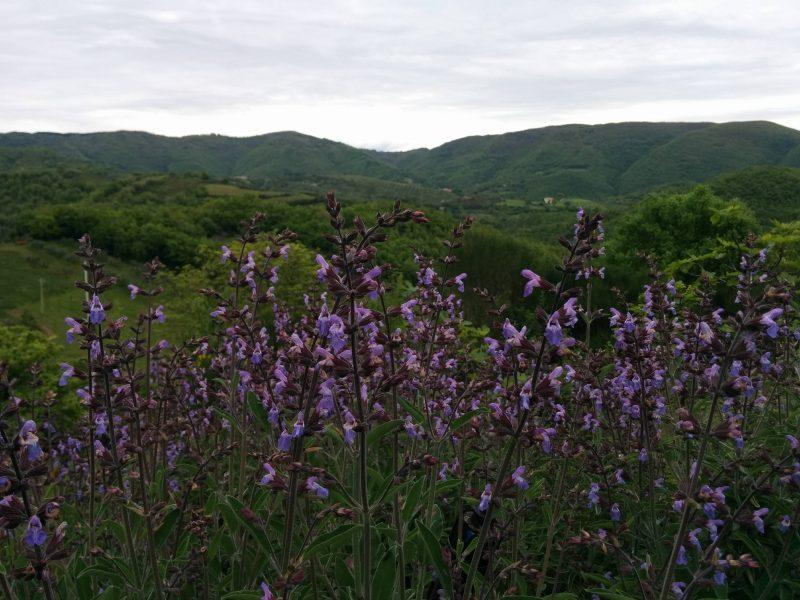 Salvia fiorita